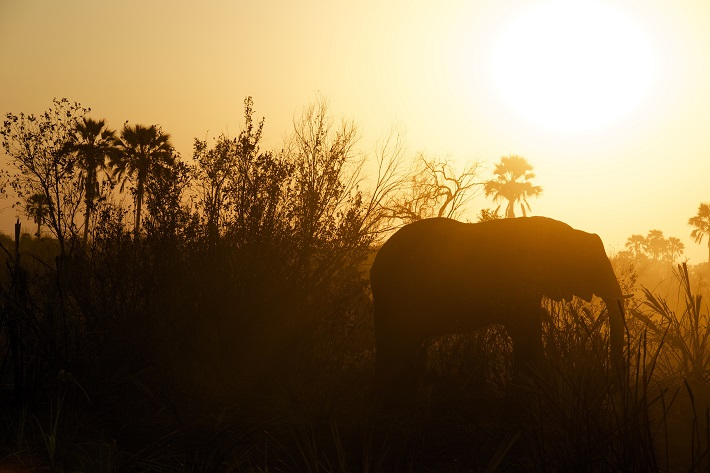 An elephant silhouetted against the setting sun in Botswana