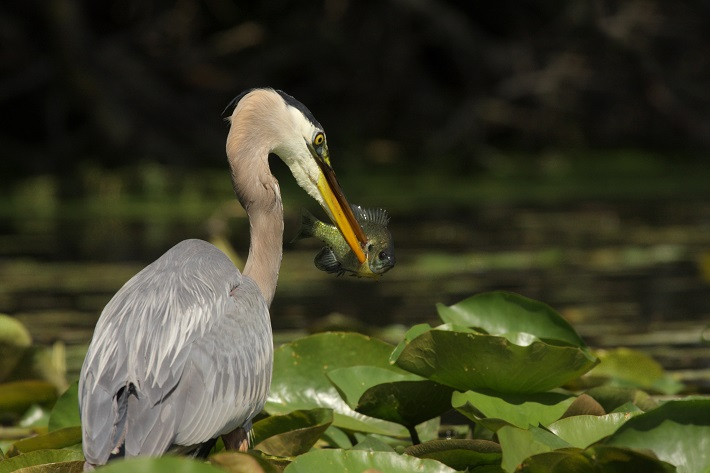 Heron catching a fish in the water of the Tra Su Indigo Forest
