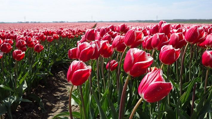 Bright pink tulips waving in the Bollenstreek tulip fields in Amsterdam