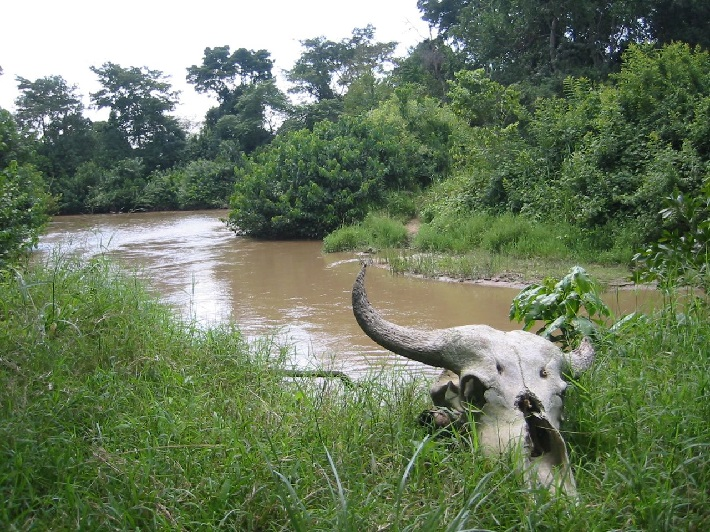 A bison skull on the banks of the Congo river