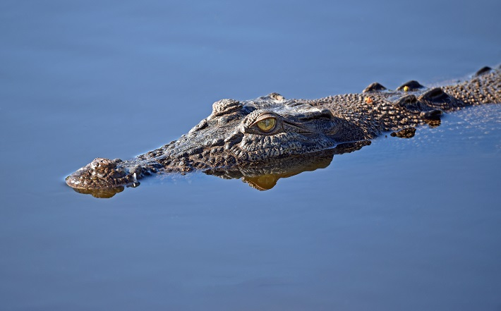 A Nile crocodile drifting through the water with only its eyes and nose visible