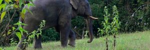 Asian elephant - Wildlife to see on the Mekong river cruise