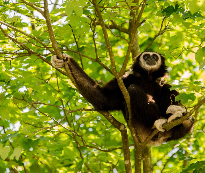 Gibbon monkey - wildlife to see on a Mekong river cruise