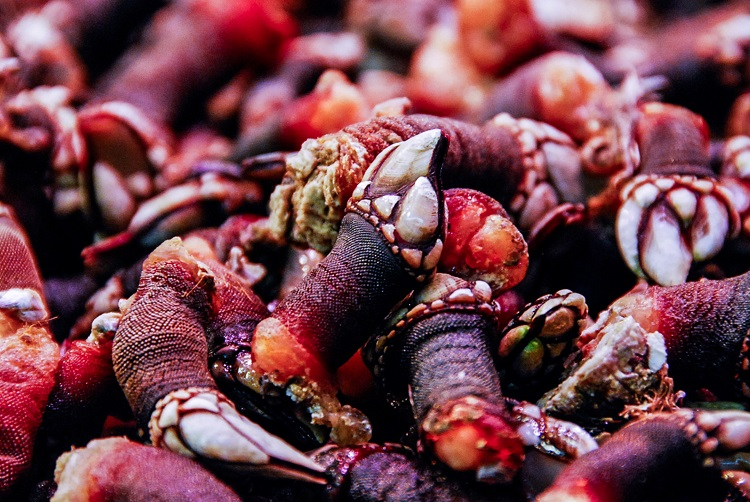 A pile of blood red goose barnacles in Portugal