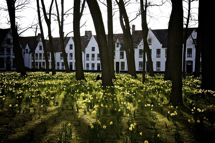 Daffodils growing in the gardens at Begijnhof in Bruges