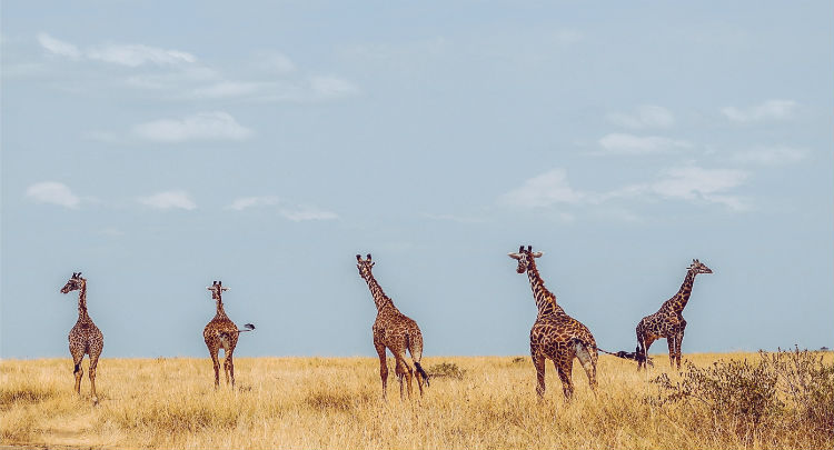 Giraffes on safari, African wildlife