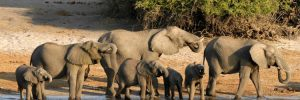 Elephants along the Chobe riverbanks