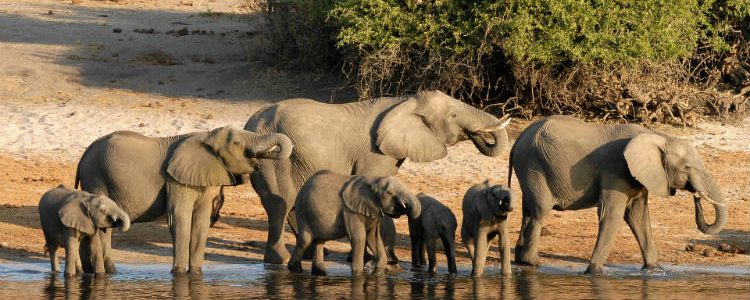 Elephants along the Chobe riverbanks