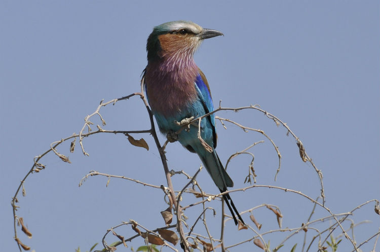 Forked roller bird - African wildlife