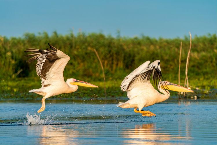 Pelican in the Danube Delta - Ukraine and Romania