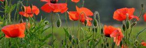 Poppy flower - Rememberence Sunday