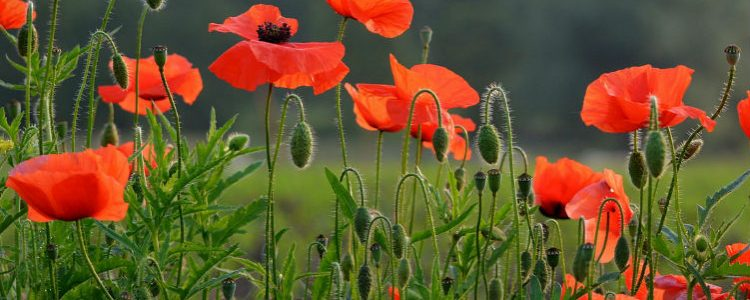 Poppy flower - Rememberence Sunday