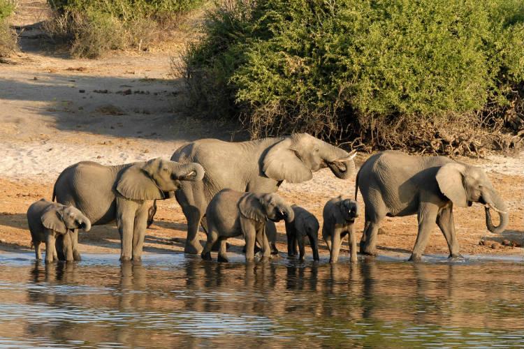 Elephants on the Chobe River